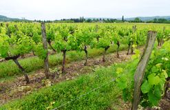 Vigne dell'uva, Francia rurale Fotografia Stock