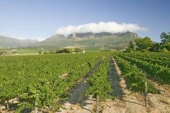 Vigne della regione del vino di Stellenbosch, fuori di Cape Town, il Sudafrica Fotografie Stock