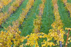 Vigne di autunno in Banyalbufar, Maiorca Immagine Stock