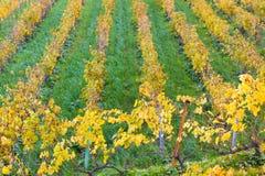 Vigne di autunno in Banyalbufar, Maiorca Fotografie Stock