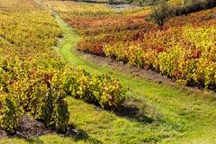 Vigne di Beaujolais Fotografia Stock