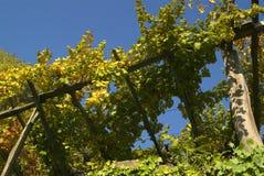 Vigne di Canavese - vicino al piccolo villaggio Cesnola, Italia Fotografie Stock