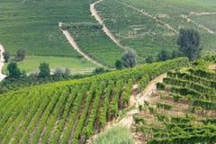 Vigne di Langhe in Italia Fotografia Stock