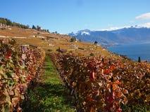 Vigne di Lauvaux che trascurano il lago Lemano Immagini Stock Libere da Diritti