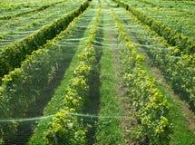 Vigne di Lavaux (Svizzera) Fotografia Stock