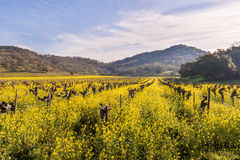 Vigne di Napa Valley e senape della primavera Fotografie Stock