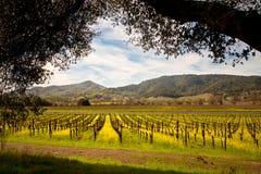 Vigne di Napa Valley e senape della primavera Fotografia Stock