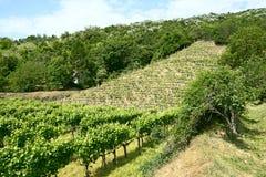 vigne di Tokaj, Ungheria Fotografia Stock