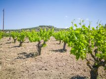 Vigne di Yong e belle andscape con le vigne e le montagne a fondo Uva greca per vino immagini stock libere da diritti