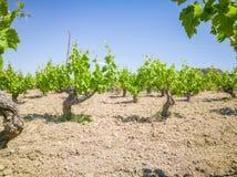 Vigne di Yong e belle Campo degli alberi dell'uva in Grecia Paesaggio con le vigne e le montagne fotografia stock libera da diritti