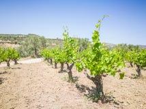 Vigne di Yong e belle Campo degli alberi dell'uva in Grecia Paesaggio con le vigne e le montagne fotografie stock