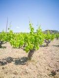 Vigne di Yong e belle Campo degli alberi dell'uva in Grecia Paesaggio con le vigne e le montagne fotografia stock