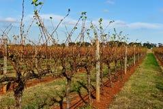 Vigne en Australie Image libre de droits
