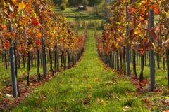 Vigne en automne Photographie stock