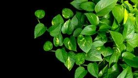 Vigne en forme de coeur de feuilles, aureum d'Epipremnum de pothos d'or sur b Image stock