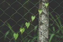 Vigne en forme de coeur rampant vers le haut de la barrière images stock