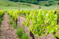 Vigne en France Photo stock