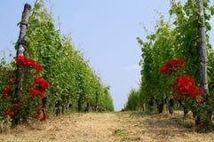 Vigne en Italie Photographie stock libre de droits
