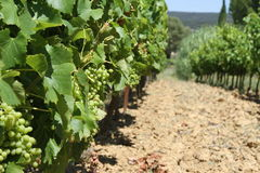 Vigne en Provence, France Images libres de droits