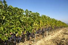 Vigne en Toscane Photo stock