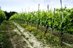 Vigne et fleurs jaunes, Montepulciano, Italie Photos stock