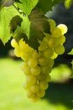 Vigne et groupe de raisins Image stock