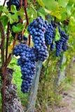 Vigne et groupe de raisins noirs dans un domaine Photo stock