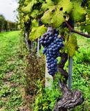 Vigne et groupe de raisins noirs dans un domaine Photographie stock libre de droits