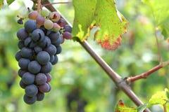 Vigne et raisins Images libres de droits