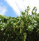 Vigne et raisins Photos stock