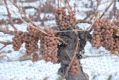 Vigne et raisins d'Icewine Photos stock