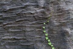 Vigne et x28 ; Grandis& x29 de coccinia ; élevage sur un mur noir de ciment Image libre de droits