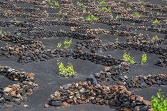 Vigne famose di La Geria su suolo vulcanico a Lanzarote, isole Canarie Spagna fotografia stock