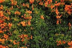 Vigne fleur de flamme de trompette, de biscuit oranges du feu en pleine floraison avec l'espace de copie pour le fond saisonnier  photos stock