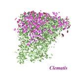 Vigne fleurissante Illustration de Vecteur
