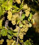 Vigne française photos libres de droits