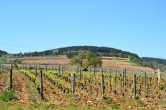 Vigne, Francia Immagini Stock