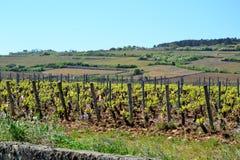 Vigne, Francia Fotografie Stock