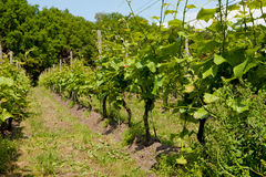 Vigne hollandaise Image libre de droits