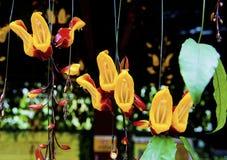 Vigne indienne d'horloge en fleur Images libres de droits
