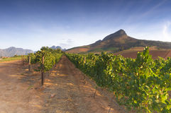 Vigne intorno a Stellenbosch, la Provincia del Capo Occidentale, Sudafrica, Afric Fotografie Stock