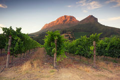 Vigne intorno a Stellenbosch, la Provincia del Capo Occidentale, Sudafrica, Afric Fotografia Stock Libera da Diritti