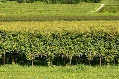 Vigne italiane del vino di Valpolicella - Verona fotografia stock libera da diritti