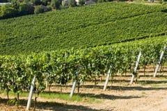 Vigne italienne Images libres de droits