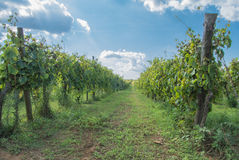 Vigne italienne Photographie stock