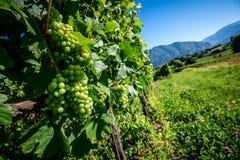 Vigne italienne Image stock
