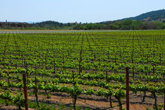 Vigne la Californie nordique de raisin Image libre de droits