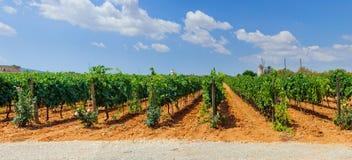 Vigne in Mallorca. La Spagna. Panorama Fotografie Stock Libere da Diritti