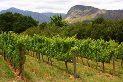 Vigne, Montague, artère 62, Afrique du Sud, Photographie stock libre de droits