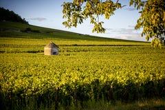 Vigne nei les Beaune di Savigny, vicino a Beaune, Borgogna, Francia Fotografie Stock
